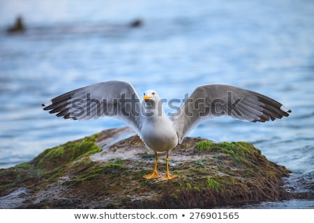 herring gull with wings spread Stock photo © taviphoto