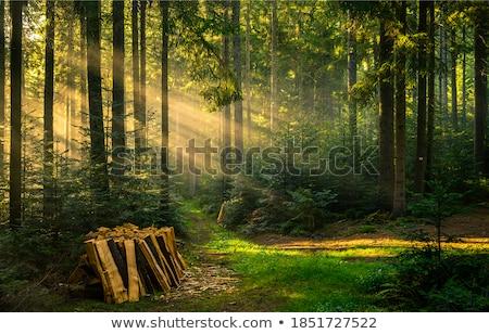 Güneş ışınları orman yeşillik ağaç gün batımı ışık Stok fotoğraf © guffoto
