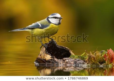 синий Тит птица сидят веточка дерево Сток-фото © manfredxy