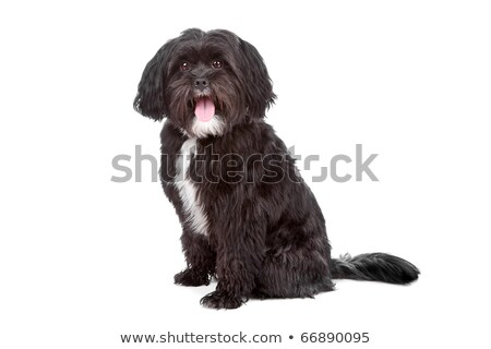 mix Tibetan Terrier, Shih Tzu Stock photo © eriklam