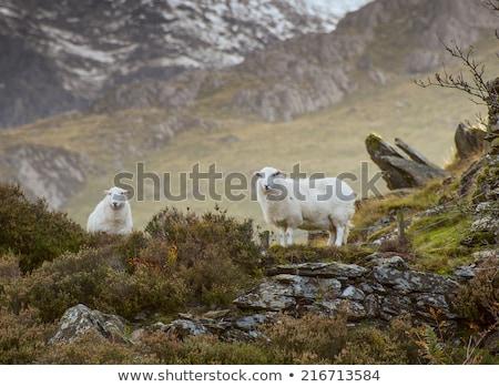 ovejas · dos · Pascua · hierba · campo · verde - foto stock © bigalbaloo