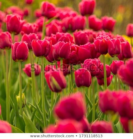 Gyönyörű piros tulipánok mező tavasz fényes Stock fotó © kyolshin
