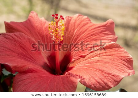 close up of a magenta hibiscus in the sunlight stock photo © 2tun