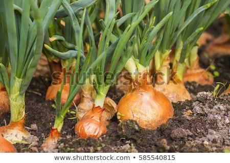 Onion plants Stock photo © naffarts