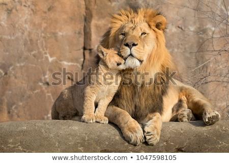 Leeuw welp illustratie natuur kat achtergrond Stockfoto © colematt
