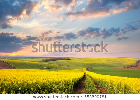 Agricultural lands with yellow plants of rapeseed on a cloudy sky. Stock photo © artjazz