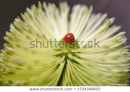 Banksia integrifolia Stock photo © lovleah