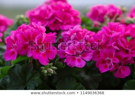 wild pink geranium Stock photo © smithore
