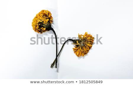 wet yellow brown marigold Flower Stock photo © stocker