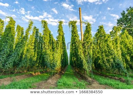 Hop Garden Stock photo © manfredxy