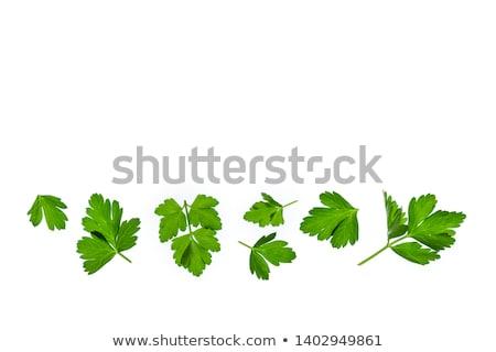 Persil isolé blanche feuille fond vert Photo stock © natika