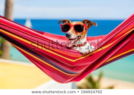 jack · russell · terrier · ontspannen · hangmat · pine · bomen - stockfoto © feverpitch
