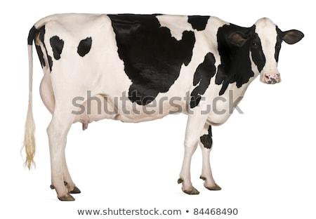 Beyaz inek siyah noktalar çiftçiler Stok fotoğraf © rhamm