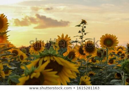 achter · zonnebloemen · portret · cute · meisjes · verbergen - stockfoto © mady70