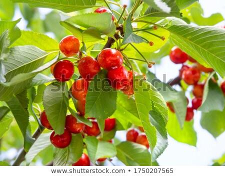 Bunch of sweet cherry berries (Prunus avium) Stock photo © erierika