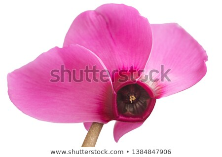 красивой · розовый · цветок · темно · цветочный · горшок · белый - Сток-фото © homydesign