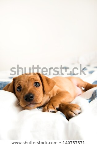 dachshund looking at camera Stock photo © eriklam