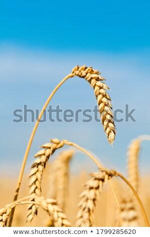 búzamező · kész · aratás · naplemente · tájkép · mező - stock fotó © joyr