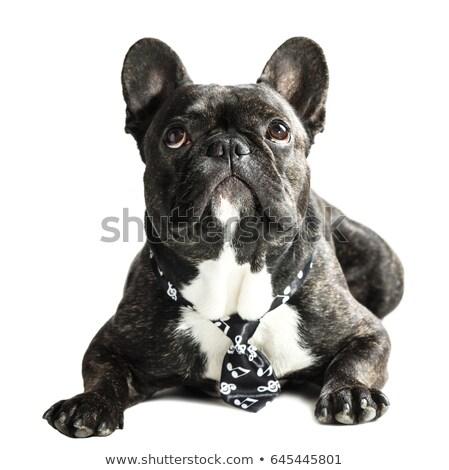 francia · bulldog · nyakkendő · háttér · fekete · vicces - stock fotó © OleksandrO