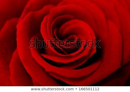 Red rose macro shot  Stock photo © sqback