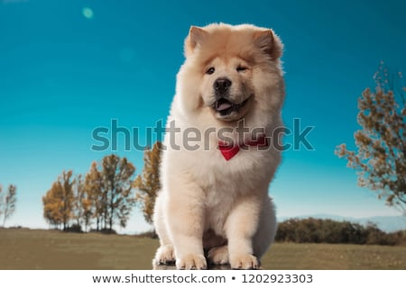 happy little chow chow puppy dog wearing bowtie smiles  Stock photo © feedough