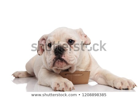 Nieuwsgierig Engels bulldog witte papier ruimte Stockfoto © feedough
