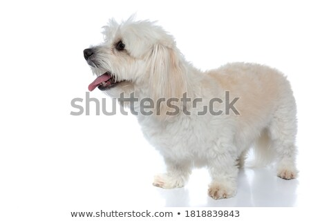 curious white bichon stands and looks to side Stock photo © feedough
