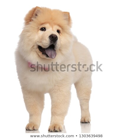 classy chow chow wearing pink bowtie looks to side Stock photo © feedough