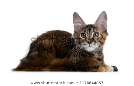 Very dark colored tortie Maine Coon cat kitten Stock photo © CatchyImages