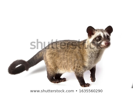 Asian palm civet (Paradoxurus hermaphroditus) Stock photo © boggy