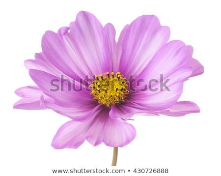 single cosmos flower isolated stock photo © smithore