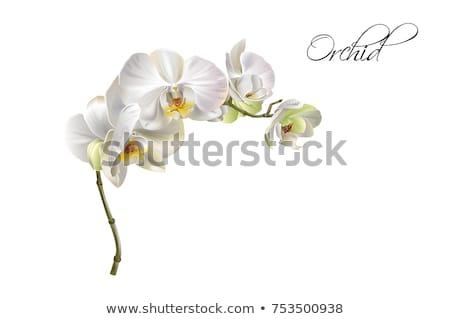 vettore · orchidea · vaso · arancione · fiore · natura - foto d'archivio © dagadu
