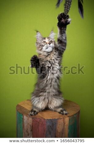 Gatito hasta blanco feliz ojos azul Foto stock © dnsphotography