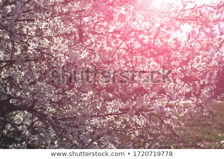 Pink Cherry Blossom Against Green Background Stock photo © maxpro