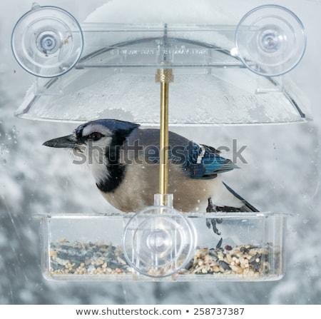 Blue Jay in window bird feeder  Stock photo © backyardproductions
