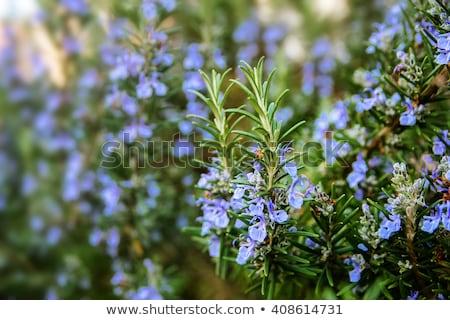 Rosemary plant Stock photo © Nneirda