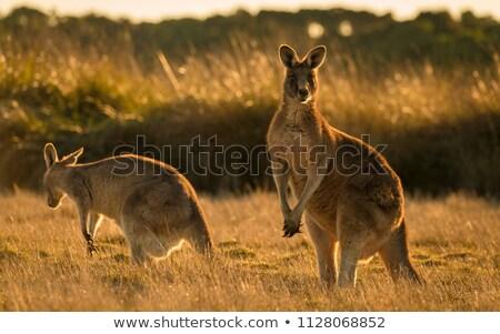 Stock photo: kangaroos at sunset