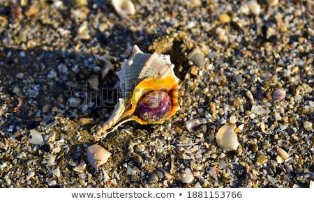 conchas · areia · praia · fundo · verão · oceano - foto stock © mikko