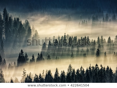 Autumn landscape in the fir forest with beautiful light Stock photo © Kotenko