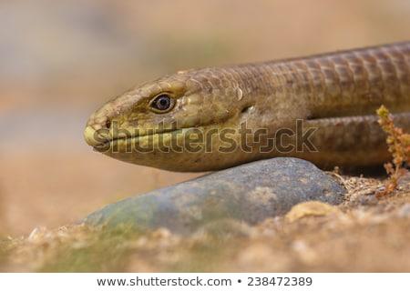 close-up of Pseudopus apodus Stock photo © taviphoto