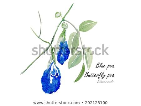 Blue butterfly pea flowers tree plant stock photo © szefei