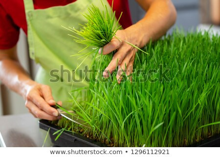 Wheatgrass in nursery Stock fotó © Kzenon