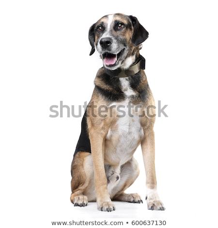 Stúdiófelvétel imádnivaló vegyes fajta kutya ül Stock fotó © vauvau
