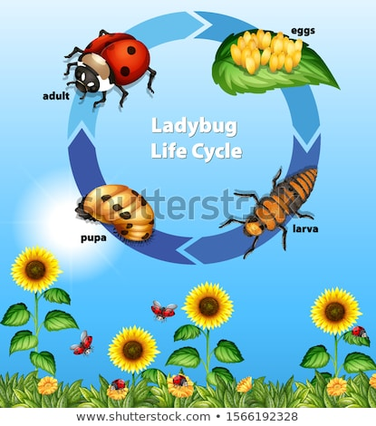 Diagram tonen leven cyclus lieveheersbeestje illustratie Stockfoto © bluering