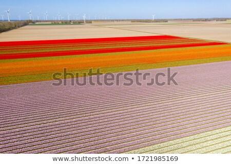 Fields full of Dutch tulips Stock photo © ivonnewierink