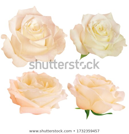 orange rose isolated on white background stock photo © tetkoren