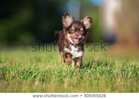 running chihuahua Stock photo © cynoclub