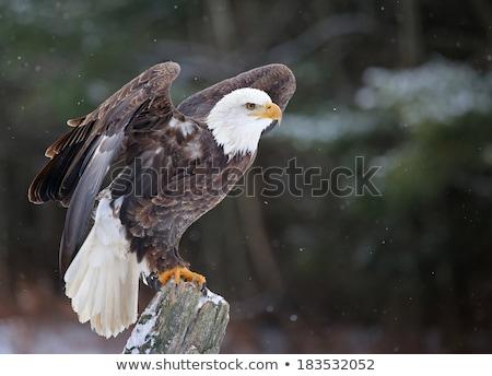 bald eagle posing stock photo © teusrenes