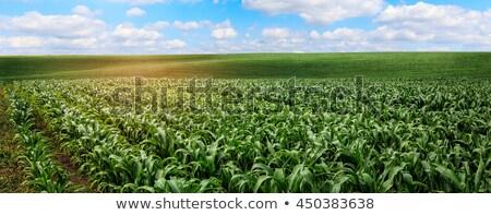 Nagy kukoricamező nyitva természet tavasz fű Stock fotó © fonzie26