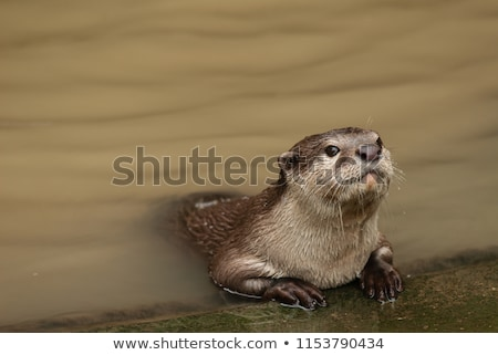 otter in the water stock photo © fonzie26